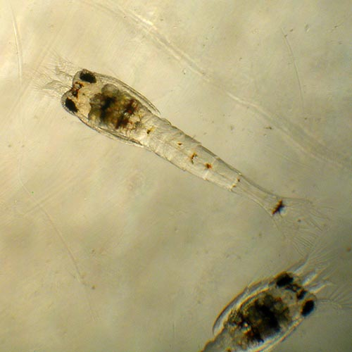 Garnele als Zoea Larve im freien Wasser