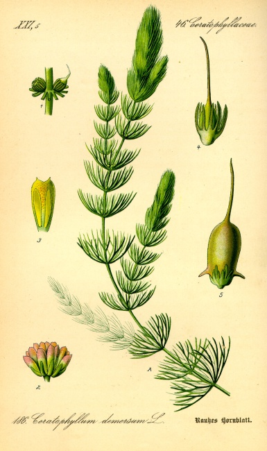 Ceratophyllum demersum